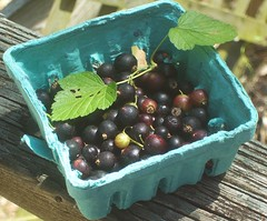 Blackcurrants (Ribes nigrum)