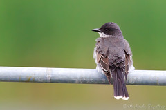 Eastern Kingbird (~ Michaela Sagatova ~) Tags: bird nature perched dundas flycatcher easternkingbird tyrannustyrannus michaelasagatova