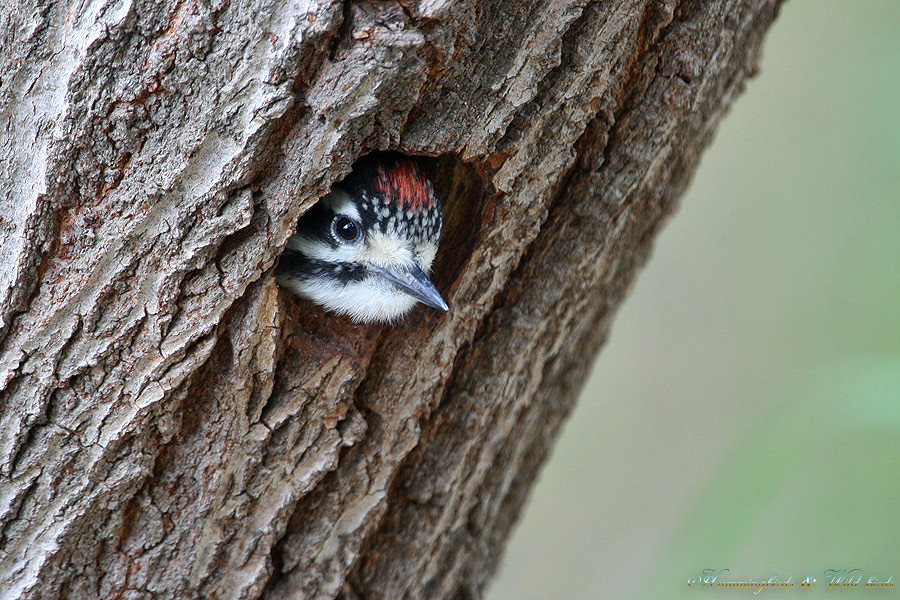Nuttall's-Woodpecker-0510-7