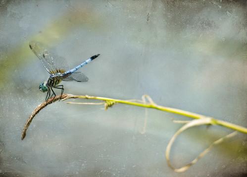 DragonflyPeace