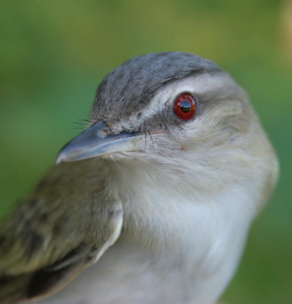 MABO - Red-eyed Vireo - band 715