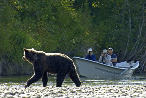 Grizzly Bear viewing / Photo by Michael Wigle