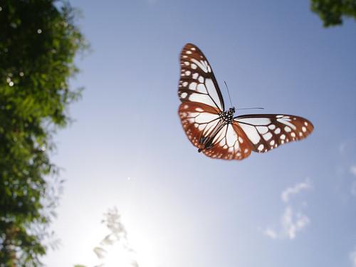 Parantica sita in flight