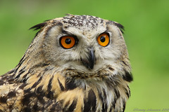 Ethel the Eagle Owl (tommyajohansson) Tags: england bird geotagged wildlife uv surrey course owl bwc britishwildlife raubvogel birdofprey uhu bubobubo chouette faved fgel uggla eagleowl eule berguv lingfield photocourse britishwildlifecentre rovfgel experienceseminars tommyajohansson gettysubmissionmay