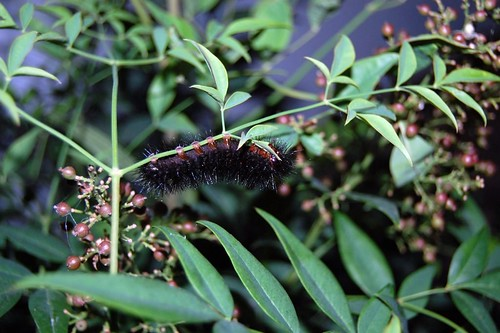Fuzzy Black Caterpillar