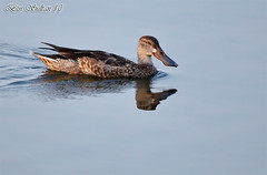 Northern shoveler   () Tags: birds northern shoveler qatar          birdwacher  qatarbird