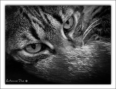 Gato, o Licas   (On Explore) (antoninodias13 (ausente)) Tags: gato ohhh mywinners flickrestrellas