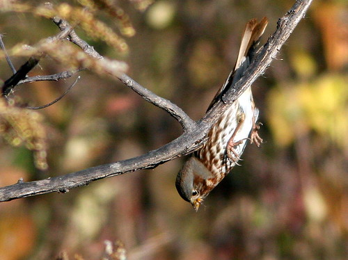Free-falling Fox Sparrow 2-20101029