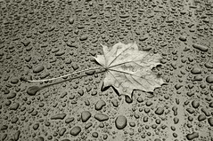 Raindrops (nemo585) Tags: autumn water leaves rain regen top20blackandwhite