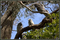 Tawny Frogmouths (parents & two chicks) (fotograf1v2) Tags: spring australia victoria eucalypt gumtree owls australianbirds tawnyfrogmouth birdlife pittosporum orthinology zoomshots coralynn westgippsland