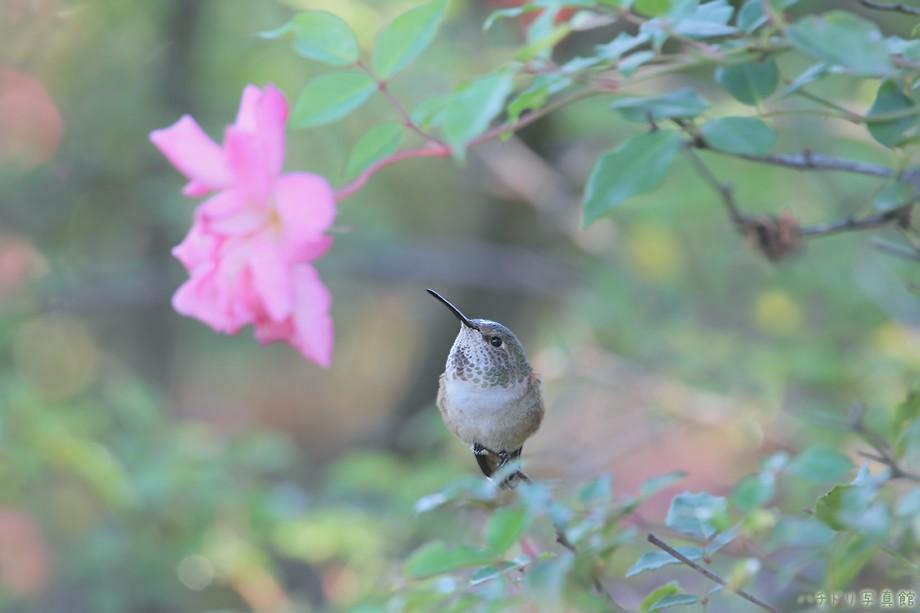 Allen's Hummingbird 110510