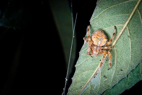Araña trepadora