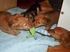 Hunde - 55 (Manfred Lentz) Tags: pets dogs puppy pups puppies hunde littledogs welpen hündchen babydogs whelps