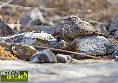 Pygmy Nightjar - Caprimulgus hirundinaceus