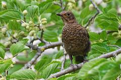 Merle noir (femelle) - Turdus merula - Common Blackbird (Alain-46) Tags: merlenoir turdusmerula commonblackbird passériformes turdidés coth specanimal coth5 sunrays5