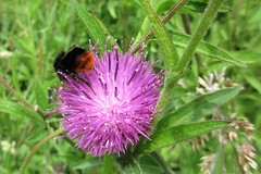 Red-tailed Bumblebee on Knapweed. (JulieK (thanks for 5 million views)) Tags: bombuslapidarius redtailedbumblebee hbbbt knapweed flower pollination flora fauna wexford irish ireland macro insect