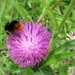 Red-tailed Bumblebee on Knapweed. thumbnail