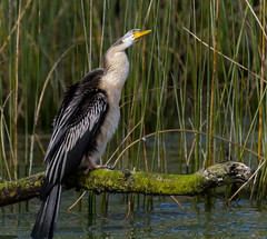 Australsian Darter - Anhinga novaehollandiae (Trace Connolly) Tags: bird darter environment australia australiandarter australasiandarter water green reeds reed tree nature creek river murrayriver rivermurray mannum feather black white leaf country exposure anhinganovaehollandiae