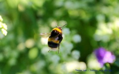 Shoo Bee Doo.......... (law_keven) Tags: bee insects bufftailedbumblebee catford london england uk savethebees bumblebee bombusterrestris arthropoda bombus hymenopterans inflight macro