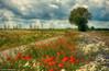 Hemelinger Marsch/ Bremen (otto.hitzegrad) Tags: landschaft mohn rot blüten blütenmeer baum weg sommer kornblumen margeriten