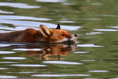 Red Fox in the water 81641 (wildlifetog) Tags: ramsarsite red fox herseynaturereserve southeast seaview isleofwight uk mbiow martin blackmore britishisles britain canon england european eos7dmkii nature wild wildlifeeurope wildlife water renard vulpesvulpes
