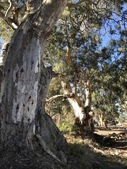 Arkaba Trees IMG_1284s (Bush Philosopher - Dave Clarke) Tags: australia flindersranges southaustralia tree gumtree arkabacreek riverredgum