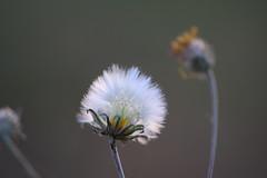 Dandelion (sauremmanuel) Tags: pissenlit duvet blanc white dandelion