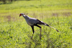 Secretary Bird, Malilangwe