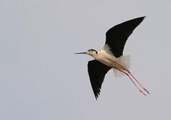 Pernilongo (dragoms) Tags: bird portugal salinas ave aveiro birdwatcher pernilongo himantopushimantopus blackwingedstilt dragoms salinasdatroncalhada