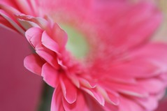 Cheers to new beginnings . . . (KimFearheiley) Tags: pink macro gerbera daisy