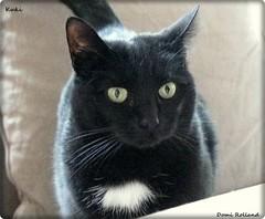 Kuki (Domi Rolland ) Tags: france animal chat europe millau aveyron midipyrnes abigfave