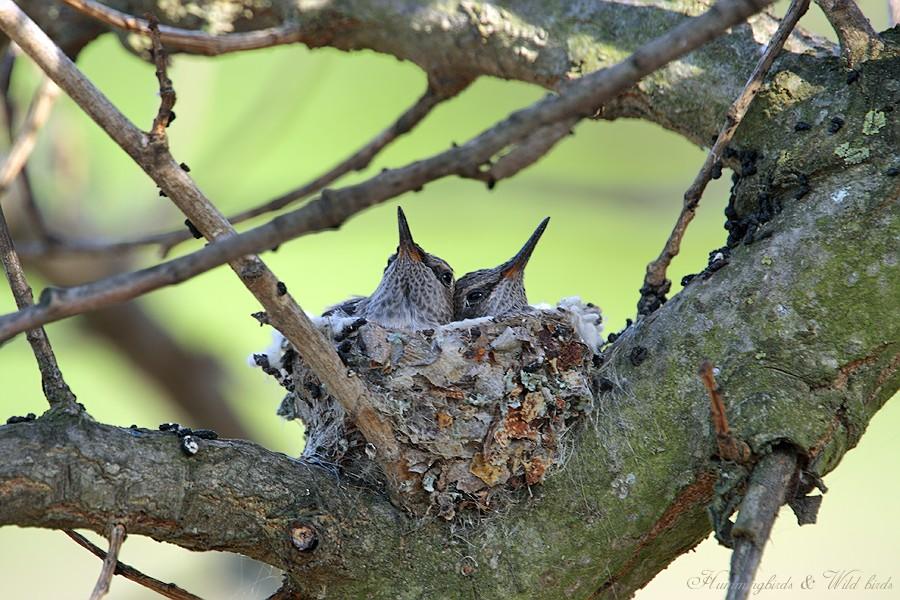 Anna's Hummingbird nest 0309b-1