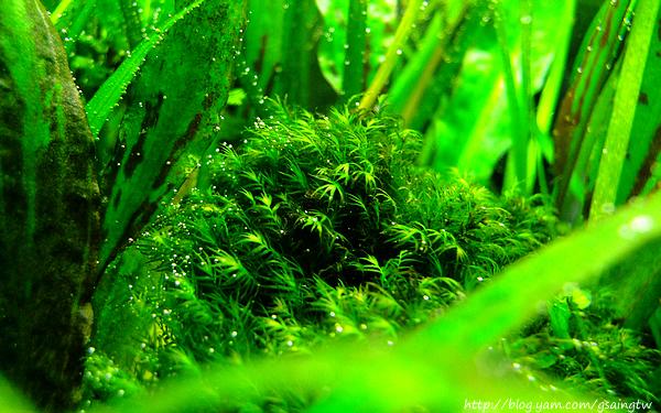 美國鳳尾苔