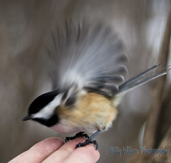 Birding at 50mm (Billy Wilson Photography) Tags: ontario canada bird nature animal digital canon outdoors eos rebel 50mm wildlife chickadee xs f18 soo animalia nothern saultstemarie feathered northernontario algoma billywilson shallowdepthoffocus featheres
