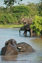 Down at the waterhole (lourobbo) Tags: elephant southafrica timbavati tandatula