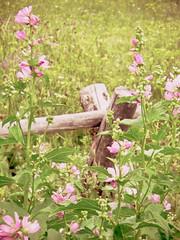 nostalgic summer (schramcrackers) Tags: pink flowers summer green fence yellowstone