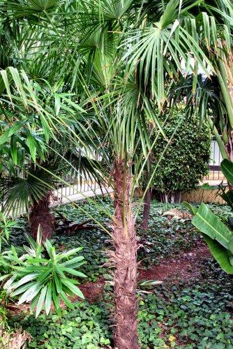 Trachycarpus fortunei (rq) - 03