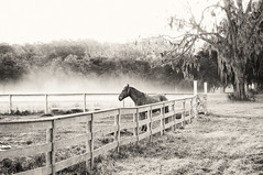 Waiting For Spring (Sco C. Hansen) Tags: trees horse cold grass animal fog fence landscape blackwhite nikon south low country scenic southern spanishmoss hansen beaufort equestrian lowcountry d300 beaufortcounty flickraward stockphotoagency beaufortphotographer hiltonheadphotographer wwwlowcountryphotographynet photostockagency