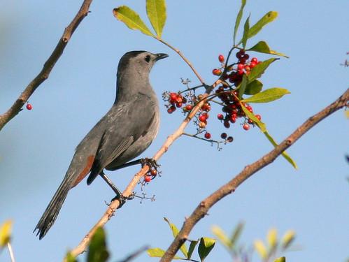 Gray Catbird 20100118