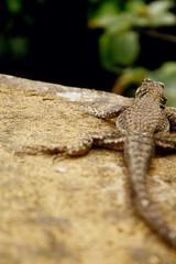 vida de lagarto (No olho dos outros...) Tags: animal lizard lagarto