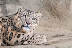 Lying Villy (Tambako the Jaguar) Tags: wild male rock cat zoo switzerland big nikon feline zurich kitty zrich lying snowleopard d300 schneeleopard snowkitty uncia panthredesneiges