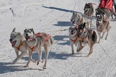 Kandersteg 2010 - 12 (Winithun - www.foto-erwin.ch) Tags: kandersteg berneroberland schlittenhunderennen schlittenhunderennenkandersteg