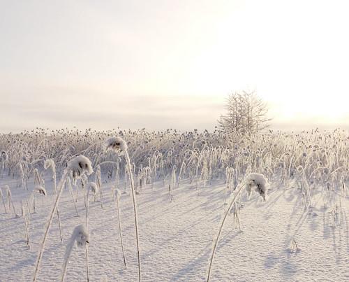 snowyJarviRuokodigital