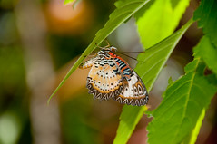 Lacewing (vividcorvid) Tags: plant abstract color tree animal butterfly bug insect leaf stem bush unitedstatesofamerica places tropical caribbean stthomas virginislands usvi butterflyfarm malaysianlacewing