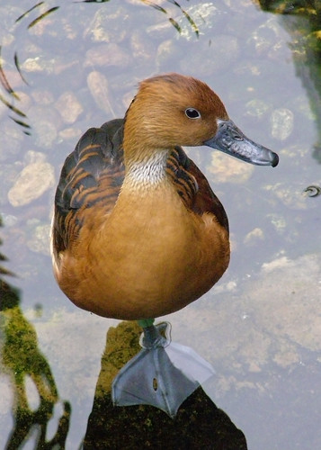 "Fulvous Whistling Duck - Honorable Mention ""Student Category"" - 2009 Buffalo Zoo Photo Contest"