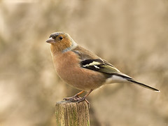 Chaffinch on post (tricycledteenager) Tags: wild male bird nature horizontal scotland fife expression feathers naturereserve britishwildlife anxious chaffinch fullshot birnieloch collessie onwoodenpost