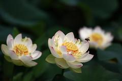 Lotus_Part 6/  -  (kth517) Tags: summer lotus australia yarrajunction   canon70200mmf4lis canon40d bluelotuswatergarden victoriastate