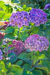 44231 (Clive Nichols) Tags: blue beautiful up sussex wakehurst close place hamburg hydrangea shrub hortensia mophead macrophylla hortensis clivenichols flickrhydrangeas