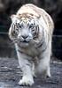White tiger (floridapfe) Tags: white zoo nikon tiger korea kora everland nimal vosplusbellesphotos