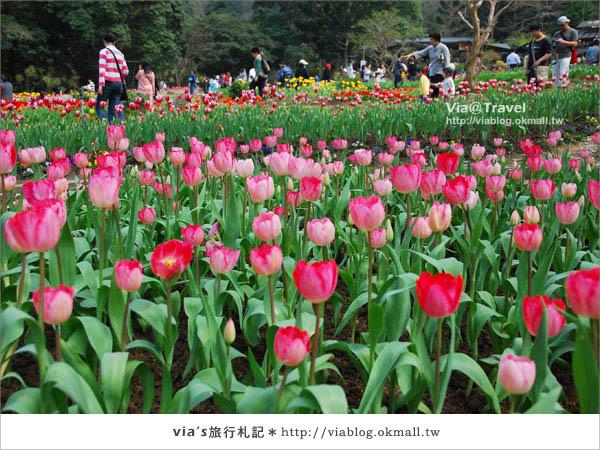 【鬱金香花季】桃源仙谷鬱金香花季開花囉~